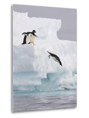 Adelie Penguin (Pygoscelis Adeliae) Diving Off Iceberg into Icy Water, Paulet Island, Antarctica-Suzi Eszterhas/Minden Pictures-Metal Print