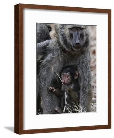 Olive Baboon (PapioAnubis) Female Grooming Mother with Infant, Gombe Stream Chimp Reserve, Tanzania-Suzi Eszterhas/Minden Pictures-Framed Photographic Print