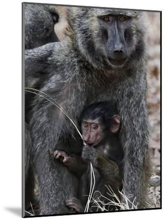 Olive Baboon (PapioAnubis) Female Grooming Mother with Infant, Gombe Stream Chimp Reserve, Tanzania-Suzi Eszterhas/Minden Pictures-Mounted Photographic Print