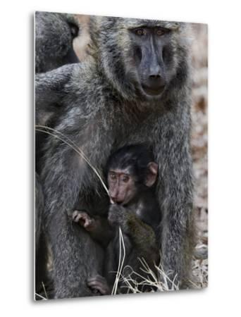 Olive Baboon (PapioAnubis) Female Grooming Mother with Infant, Gombe Stream Chimp Reserve, Tanzania-Suzi Eszterhas/Minden Pictures-Metal Print