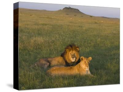 African Lion (Panthera Leo) Male and Female, Masai Mara, Kenya-Suzi Eszterhas/Minden Pictures-Stretched Canvas Print
