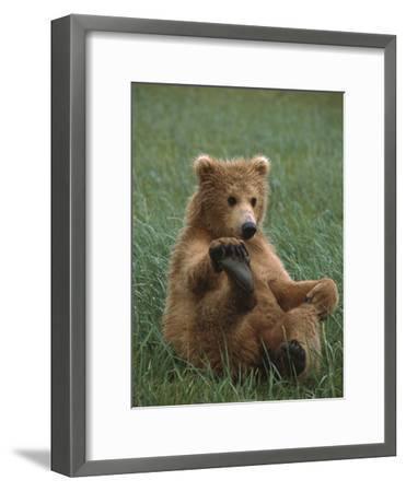 Grizzly Bear (Ursus Arctos Horribilis) Cub Playing, Katmai Nat'l Park, Alaska-Suzi Eszterhas/Minden Pictures-Framed Photographic Print