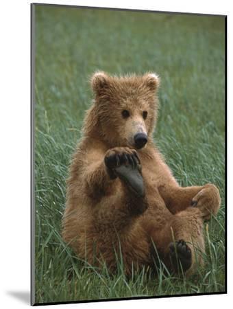 Grizzly Bear (Ursus Arctos Horribilis) Cub Playing, Katmai Nat'l Park, Alaska-Suzi Eszterhas/Minden Pictures-Mounted Photographic Print