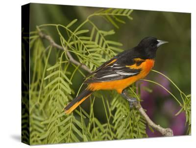Baltimore Oriole (Icterus Galbula) Male Perched on a Branch, Rio Grande Valley, Texas-Tom Vezo/Minden Pictures-Stretched Canvas Print