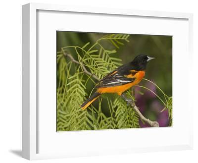 Baltimore Oriole (Icterus Galbula) Male Perched on a Branch, Rio Grande Valley, Texas-Tom Vezo/Minden Pictures-Framed Photographic Print
