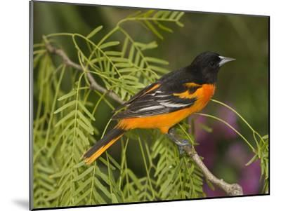 Baltimore Oriole (Icterus Galbula) Male Perched on a Branch, Rio Grande Valley, Texas-Tom Vezo/Minden Pictures-Mounted Photographic Print