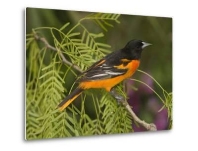 Baltimore Oriole (Icterus Galbula) Male Perched on a Branch, Rio Grande Valley, Texas-Tom Vezo/Minden Pictures-Metal Print