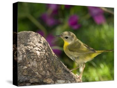 Common Yellowthroat (Geothlypis Trichas) Female Perched on a Log, Rio Grande Valley, Texas-Tom Vezo/Minden Pictures-Stretched Canvas Print