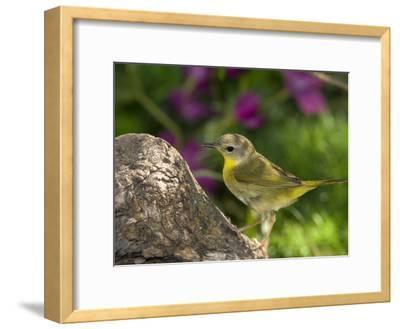 Common Yellowthroat (Geothlypis Trichas) Female Perched on a Log, Rio Grande Valley, Texas-Tom Vezo/Minden Pictures-Framed Photographic Print