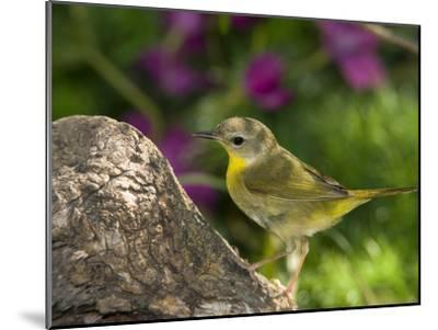 Common Yellowthroat (Geothlypis Trichas) Female Perched on a Log, Rio Grande Valley, Texas-Tom Vezo/Minden Pictures-Mounted Photographic Print