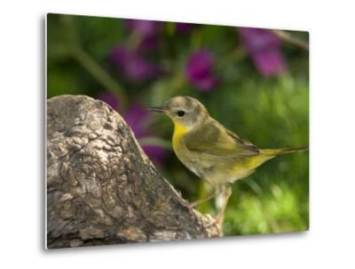 Common Yellowthroat (Geothlypis Trichas) Female Perched on a Log, Rio Grande Valley, Texas-Tom Vezo/Minden Pictures-Metal Print