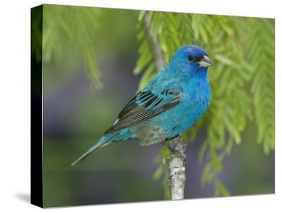 Indigo Bunting (Passerina Cyanea) Male Perched on Branch, Rio Grande Valley, Texas-Tom Vezo/Minden Pictures-Stretched Canvas Print