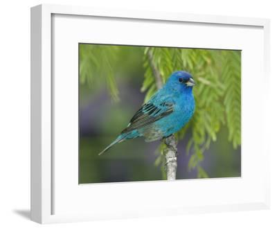 Indigo Bunting (Passerina Cyanea) Male Perched on Branch, Rio Grande Valley, Texas-Tom Vezo/Minden Pictures-Framed Photographic Print