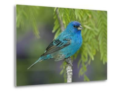 Indigo Bunting (Passerina Cyanea) Male Perched on Branch, Rio Grande Valley, Texas-Tom Vezo/Minden Pictures-Metal Print