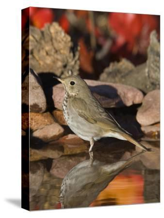 Hermit Thrush (Catharus Guttatus) Standing in Water, Santa Rita Mountains, Arizona-Tom Vezo/Minden Pictures-Stretched Canvas Print
