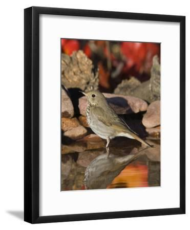Hermit Thrush (Catharus Guttatus) Standing in Water, Santa Rita Mountains, Arizona-Tom Vezo/Minden Pictures-Framed Photographic Print