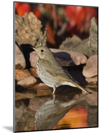 Hermit Thrush (Catharus Guttatus) Standing in Water, Santa Rita Mountains, Arizona-Tom Vezo/Minden Pictures-Mounted Photographic Print