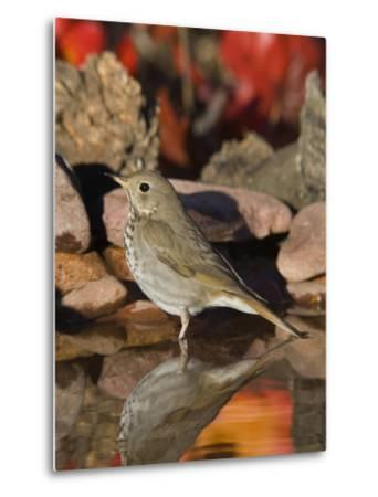Hermit Thrush (Catharus Guttatus) Standing in Water, Santa Rita Mountains, Arizona-Tom Vezo/Minden Pictures-Metal Print
