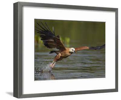 Black-Collared Hawk (Busarellus Nigricollis) Fishing, Pantanal, Brazil-Suzi Eszterhas/Minden Pictures-Framed Photographic Print