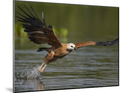 Black-Collared Hawk (Busarellus Nigricollis) Fishing, Pantanal, Brazil-Suzi Eszterhas/Minden Pictures-Mounted Photographic Print