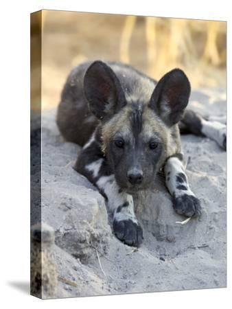 African Wild Dog (Lycaon Pictus) Six to Eight Week Old Pup, Okavango Delta, Botswana-Suzi Eszterhas/Minden Pictures-Stretched Canvas Print