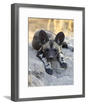 African Wild Dog (Lycaon Pictus) Six to Eight Week Old Pup, Okavango Delta, Botswana-Suzi Eszterhas/Minden Pictures-Framed Photographic Print