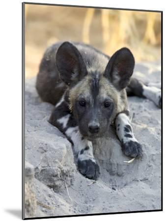 African Wild Dog (Lycaon Pictus) Six to Eight Week Old Pup, Okavango Delta, Botswana-Suzi Eszterhas/Minden Pictures-Mounted Photographic Print