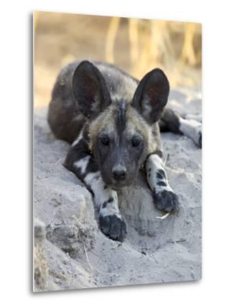African Wild Dog (Lycaon Pictus) Six to Eight Week Old Pup, Okavango Delta, Botswana-Suzi Eszterhas/Minden Pictures-Metal Print