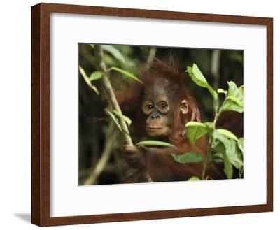 Orangutan (Pongo Pygmaeus) Baby, Camp Leaky, Tanjung Puting Nat'l Park, Indonesia-Thomas Marent/Minden Pictures-Framed Photographic Print