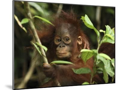 Orangutan (Pongo Pygmaeus) Baby, Camp Leaky, Tanjung Puting Nat'l Park, Indonesia-Thomas Marent/Minden Pictures-Mounted Photographic Print