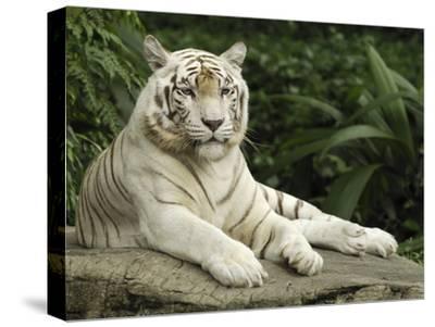 Tiger (Panthera Tigris), White Morph, Captive Animal, Singapore-Thomas Marent/Minden Pictures-Stretched Canvas Print