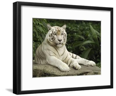 Tiger (Panthera Tigris), White Morph, Captive Animal, Singapore-Thomas Marent/Minden Pictures-Framed Photographic Print