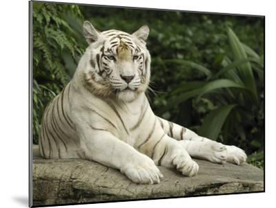 Tiger (Panthera Tigris), White Morph, Captive Animal, Singapore-Thomas Marent/Minden Pictures-Mounted Photographic Print