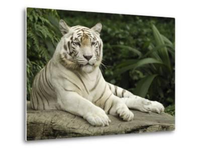 Tiger (Panthera Tigris), White Morph, Captive Animal, Singapore-Thomas Marent/Minden Pictures-Metal Print