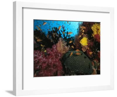 A Colorful Reef Scene with Soft and Hard Corals, and Schools of Fish-Tim Laman-Framed Photographic Print