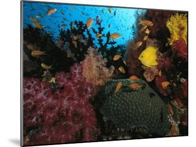 A Colorful Reef Scene with Soft and Hard Corals, and Schools of Fish-Tim Laman-Mounted Photographic Print