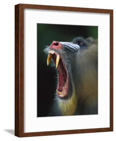 Mandrill (Mandrillus Sphinx) Adult Male Vocalizing Showing Huge Canine Teeth, Gabon-Cyril Ruoso-Framed Photographic Print