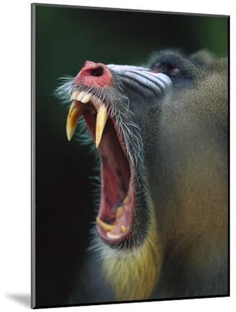 Mandrill (Mandrillus Sphinx) Adult Male Vocalizing Showing Huge Canine Teeth, Gabon-Cyril Ruoso-Mounted Photographic Print