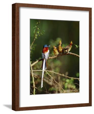 Madagascar Paradise Flycatcher (Terpsiphone Mutata) Male Rufous Morph Feeding Fledglings-Cyril Ruoso-Framed Photographic Print