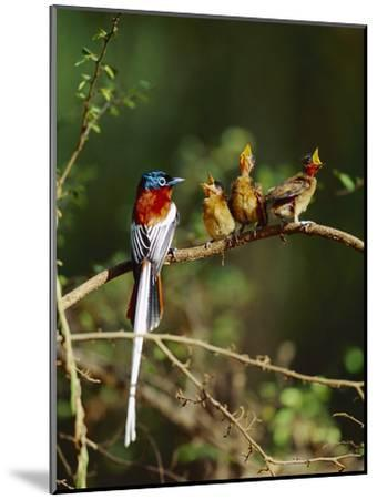 Madagascar Paradise Flycatcher (Terpsiphone Mutata) Male Rufous Morph Feeding Fledglings-Cyril Ruoso-Mounted Photographic Print