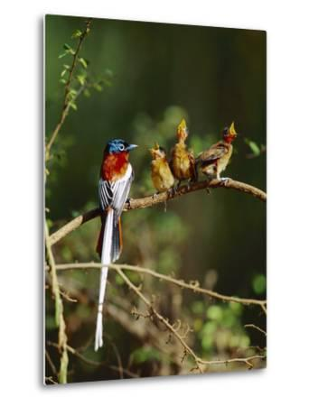 Madagascar Paradise Flycatcher (Terpsiphone Mutata) Male Rufous Morph Feeding Fledglings-Cyril Ruoso-Metal Print