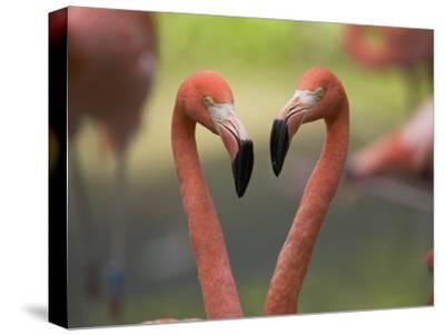 Greater Flamingo (Phoenicopterus Ruber) Pair-Cyril Ruoso-Stretched Canvas Print