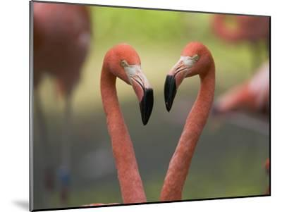 Greater Flamingo (Phoenicopterus Ruber) Pair-Cyril Ruoso-Mounted Photographic Print
