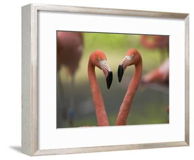 Greater Flamingo (Phoenicopterus Ruber) Pair-Cyril Ruoso-Framed Photographic Print