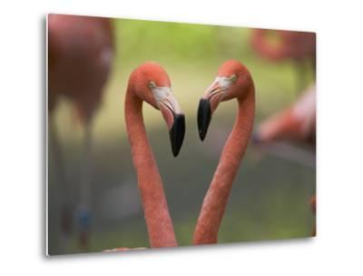 Greater Flamingo (Phoenicopterus Ruber) Pair-Cyril Ruoso-Metal Print