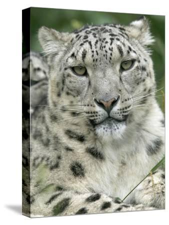 Snow Leopard (Uncia Uncia), Endangered Native to Asia and Russia-Cyril Ruoso-Stretched Canvas Print