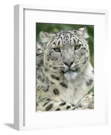 Snow Leopard (Uncia Uncia), Endangered Native to Asia and Russia-Cyril Ruoso-Framed Photographic Print