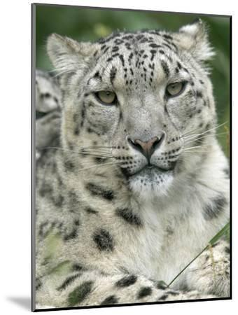 Snow Leopard (Uncia Uncia), Endangered Native to Asia and Russia-Cyril Ruoso-Mounted Photographic Print