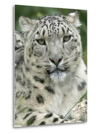 Snow Leopard (Uncia Uncia), Endangered Native to Asia and Russia-Cyril Ruoso-Metal Print