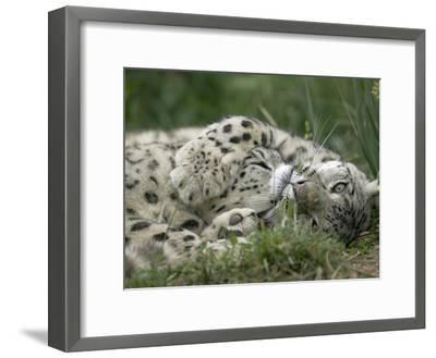 Snow Leopard (Uncia Uncia) Pair Playing Together, Endangered, Native to Asia and Russia-Cyril Ruoso-Framed Photographic Print